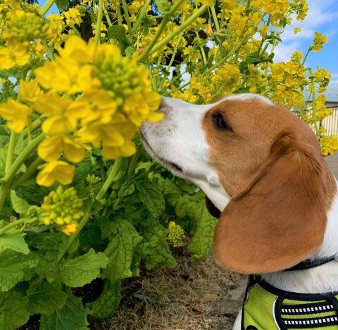 犬と菜の花